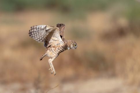 Dennis Liu - Burrowing Owls