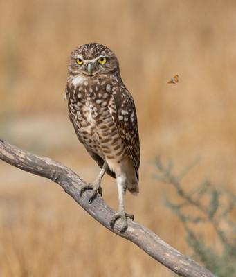 Rona Liu - Burrowing Owls