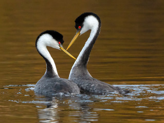 TAPA 03月06日 (星期六 2pm - 5pm) 線上例會 - 本次例會特別請到知名攝影家馬馭先生, 與會員分享 - [水禽 Water Fowl] 的精彩照片。