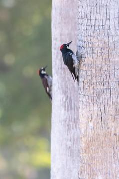 Dennis Liu - 啄木鳥