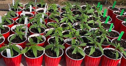 Hemp Seedlings.jpg