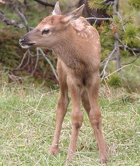 elk fawn.jpg