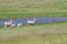 sheep & babies1.JPG