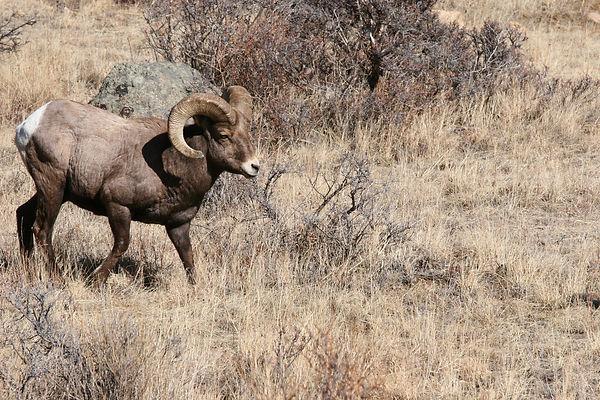Bighorn Sheep -18.jpg