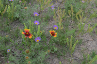 Smoky Valley Ranch wildflowers