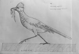 Road runner sketch.JPG