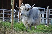 Yak Stier auf der Weide in Heidenreichstein, Waldviertel