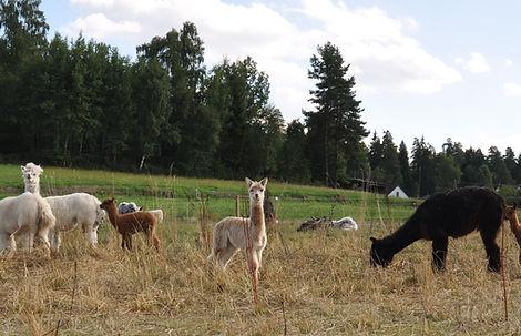 Alpaka Stuten Herde mit Alpakafohlen