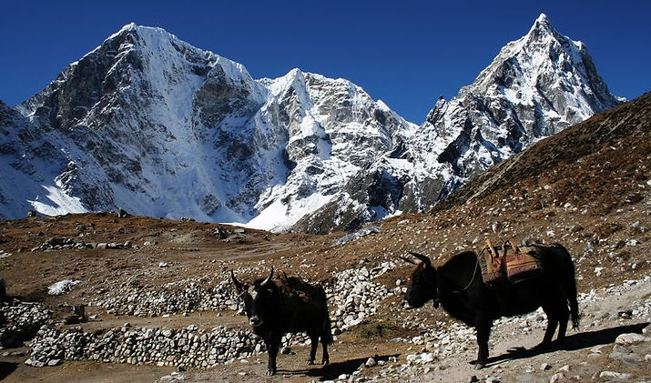 Yaks im Himalaya, Nepal