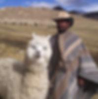 Alpaka mit Hirte in Bolivien