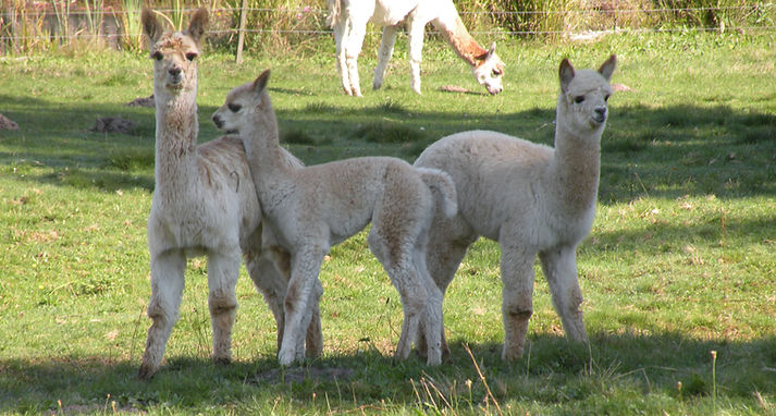 Alpakafohlen Cria auf der Weide