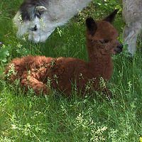 Alpakafohlen Cria Huacaya