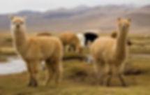 Alpakas in Peru, Huacaya