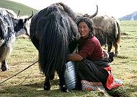 Nomade beim Melken eines Yaks