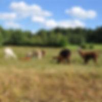 Alpakaherde auf der Weide in Heidenreichstein, Waldviertel