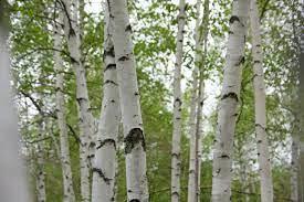 Dom växer som träden