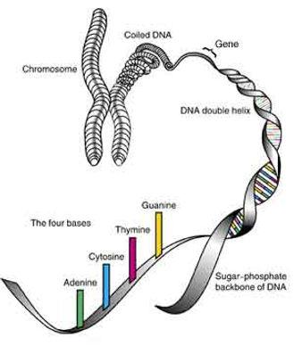 Craniofaical Genetics