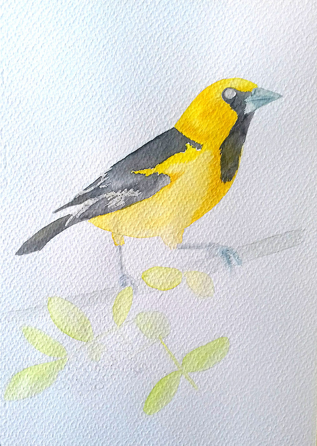 Altamira oriole process 2