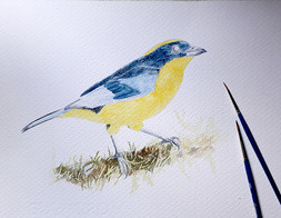 blue-winged mountain tanager process3