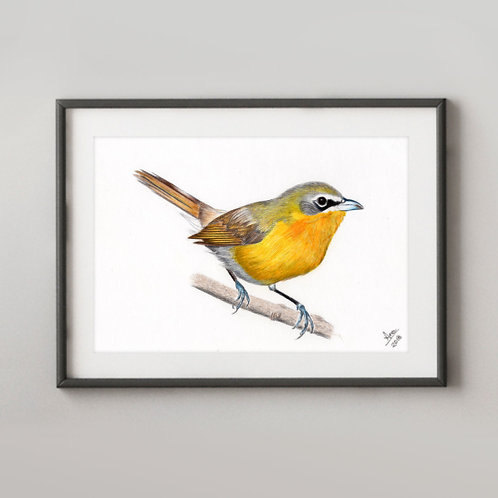 Yellow-breasted-Chat (Icteria virens)