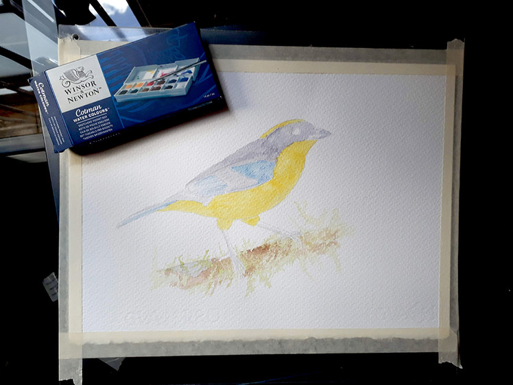 blue-winged mountain tanager process2