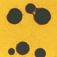 Protenoidi
