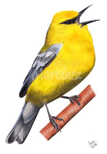 Blue Winged Warbler