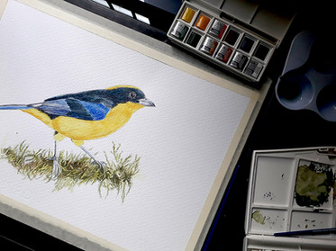 blue-winged mountain tanager process4