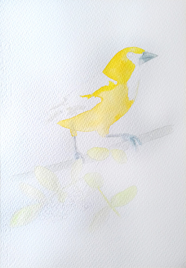 Altamira oriole process1