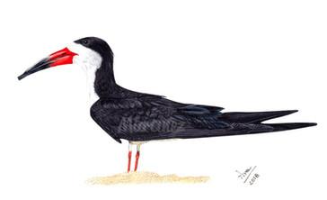 Black skimmer
