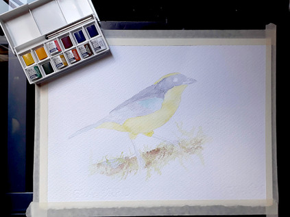 blue-winged mountain tanager process1