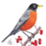American-Robin.jpg