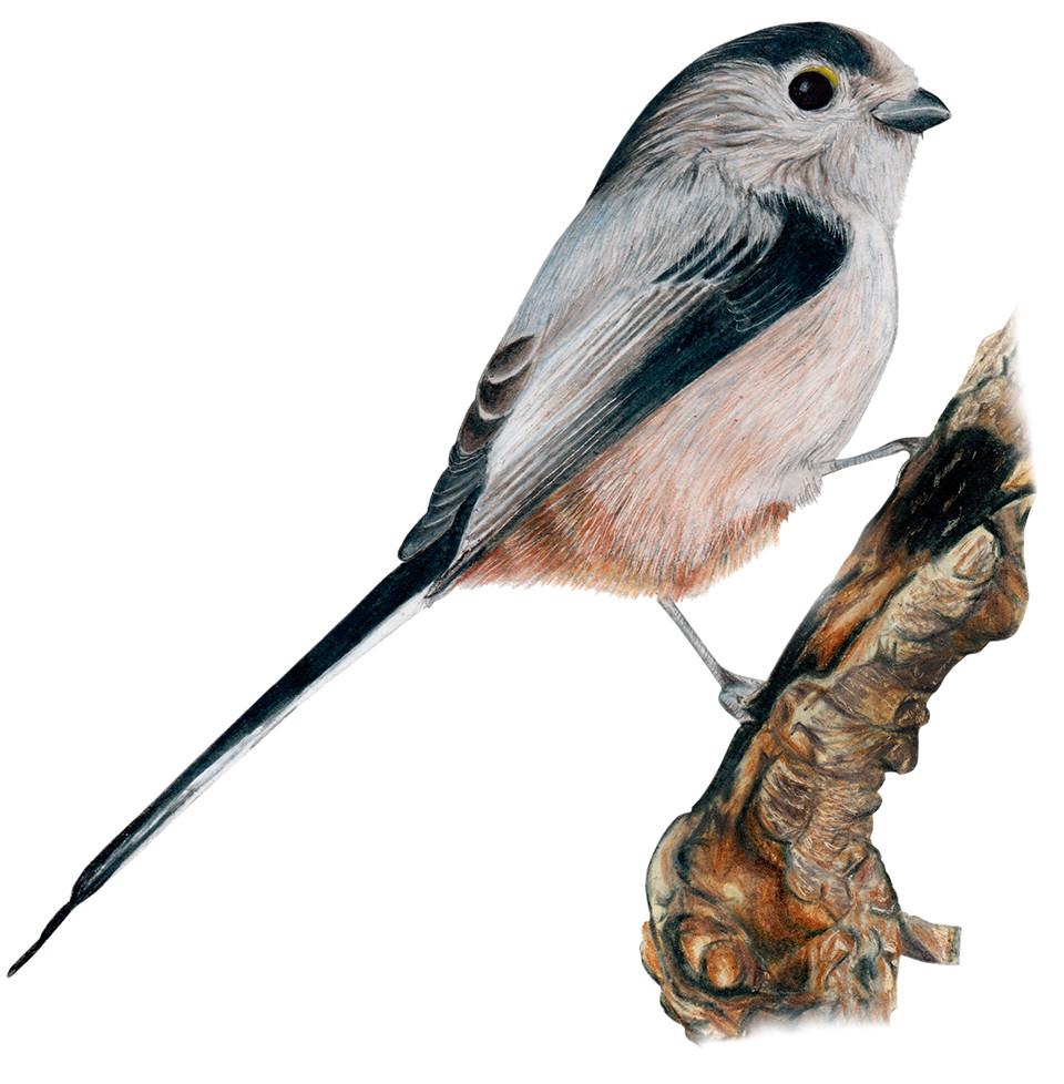 Long-tailed Tit copia.jpg