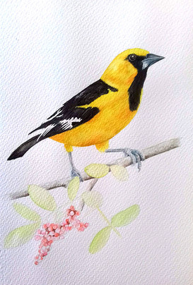Altamira oriole process 4