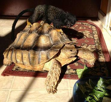 Tortoise and a Tamarin