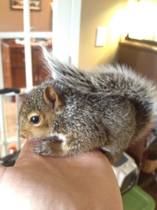 Scrat, a rehabilitated squirrel.