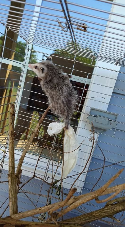 A rehabilitated possum.