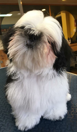 Buddy's first grooming