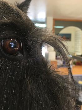 Scottish Terrier eyebrows.