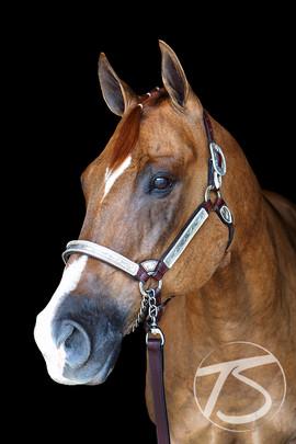 Equine Head Portrait