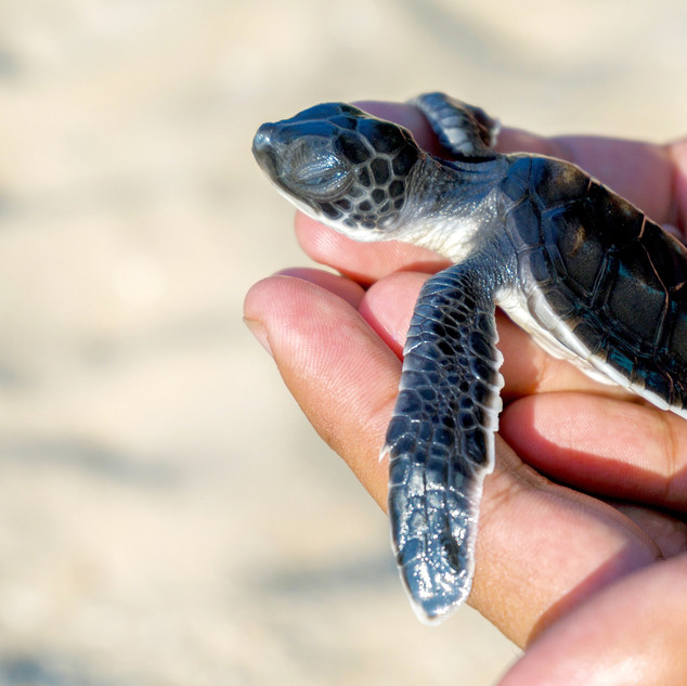 Wa-Ale-conservation-turtle-04.jpg