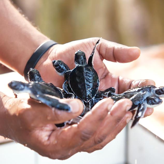 Wa-Ale-conservation-turtle-02.jpg