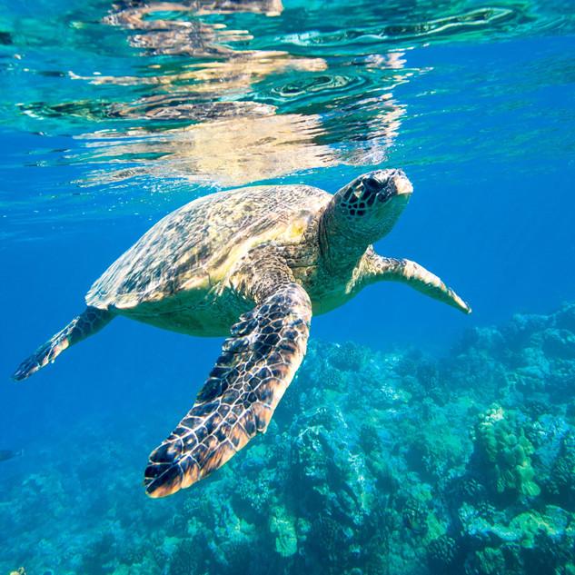 Wa-Ale-fauna-turtle-green-02.jpg