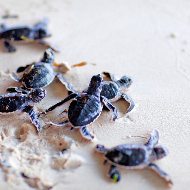 Wa-Ale-fauna-turtle-green-01.jpg