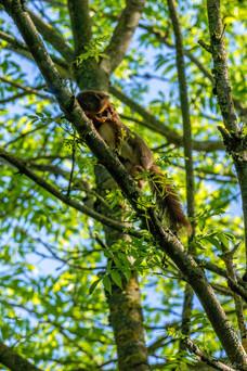 Ecureuil roux avec son petit