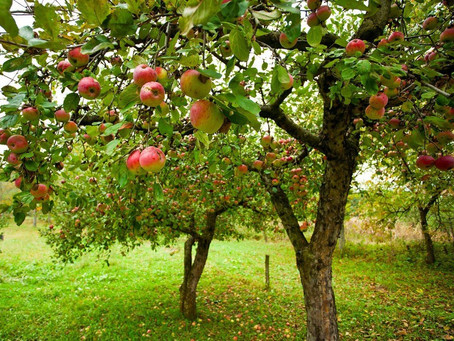 """How Do You Like Them Apples"""