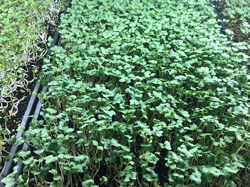 Broccoli Shoots 1.5 oz