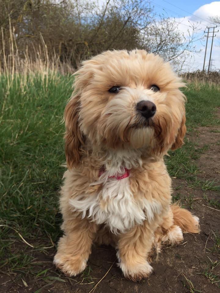 Daisy - Maltipoo