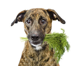 Dog holding dill in its mouth. isolated
