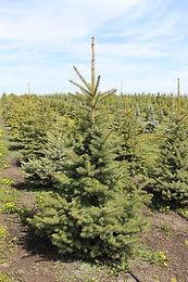 Bakeri Blue Spruce